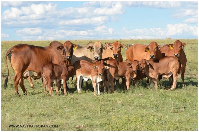 Flush group with calves.