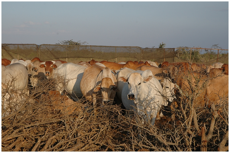 The cattle herds get penned in at night to protect them from predators.