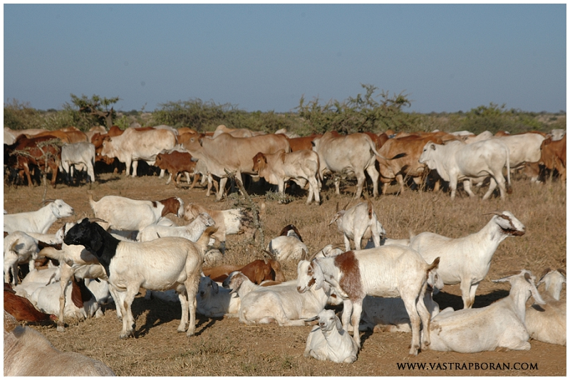 The cattle co-exist with goats, camels and wildlife.