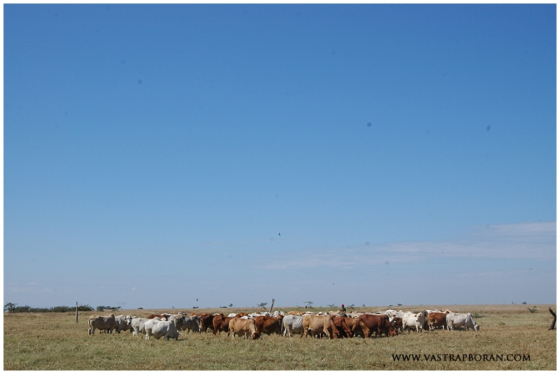 Boran cattle have very strong herd instincts.