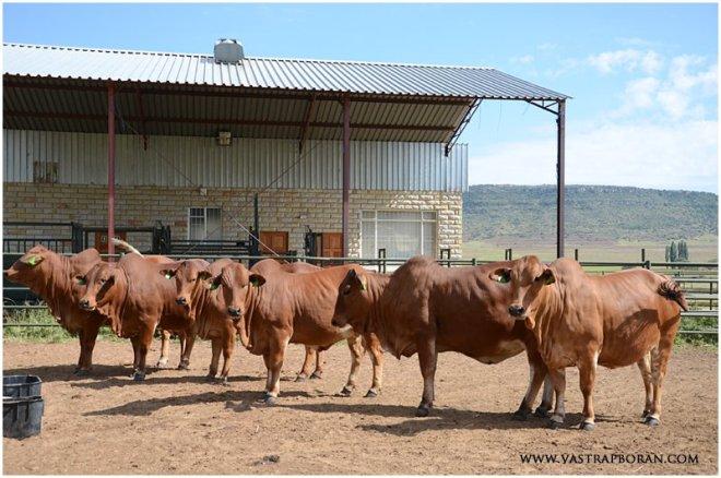 Six stunning 2012 heifers chosen by Luca Borane.