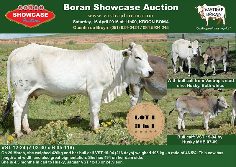 Showcase cows_0001