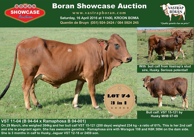 Showcase cows_0002