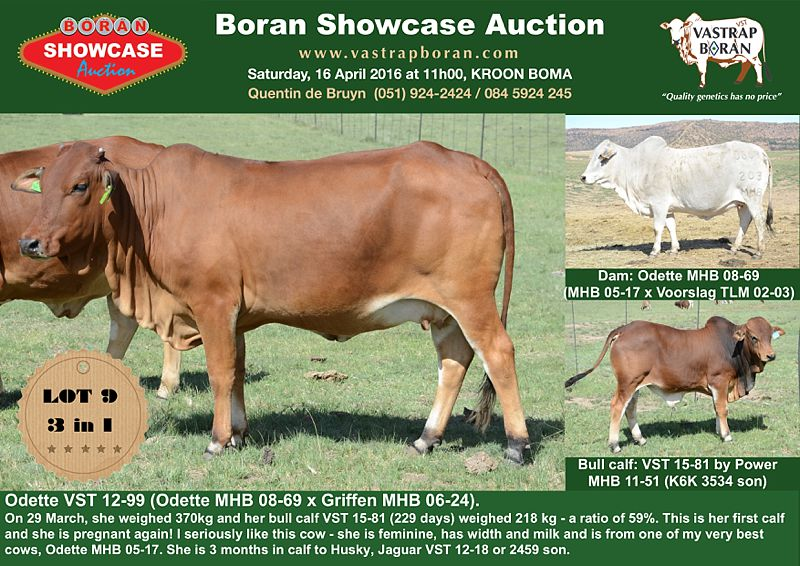 Showcase cows_0003