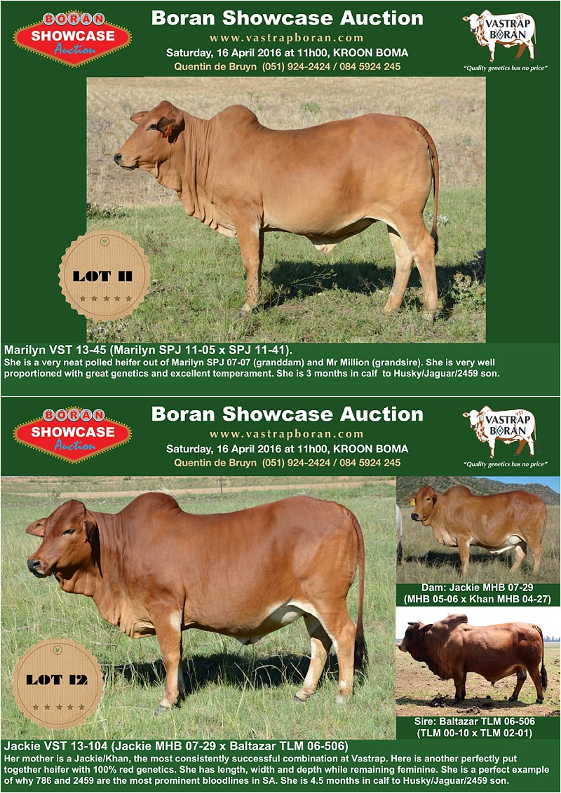 Showcase heifers_2
