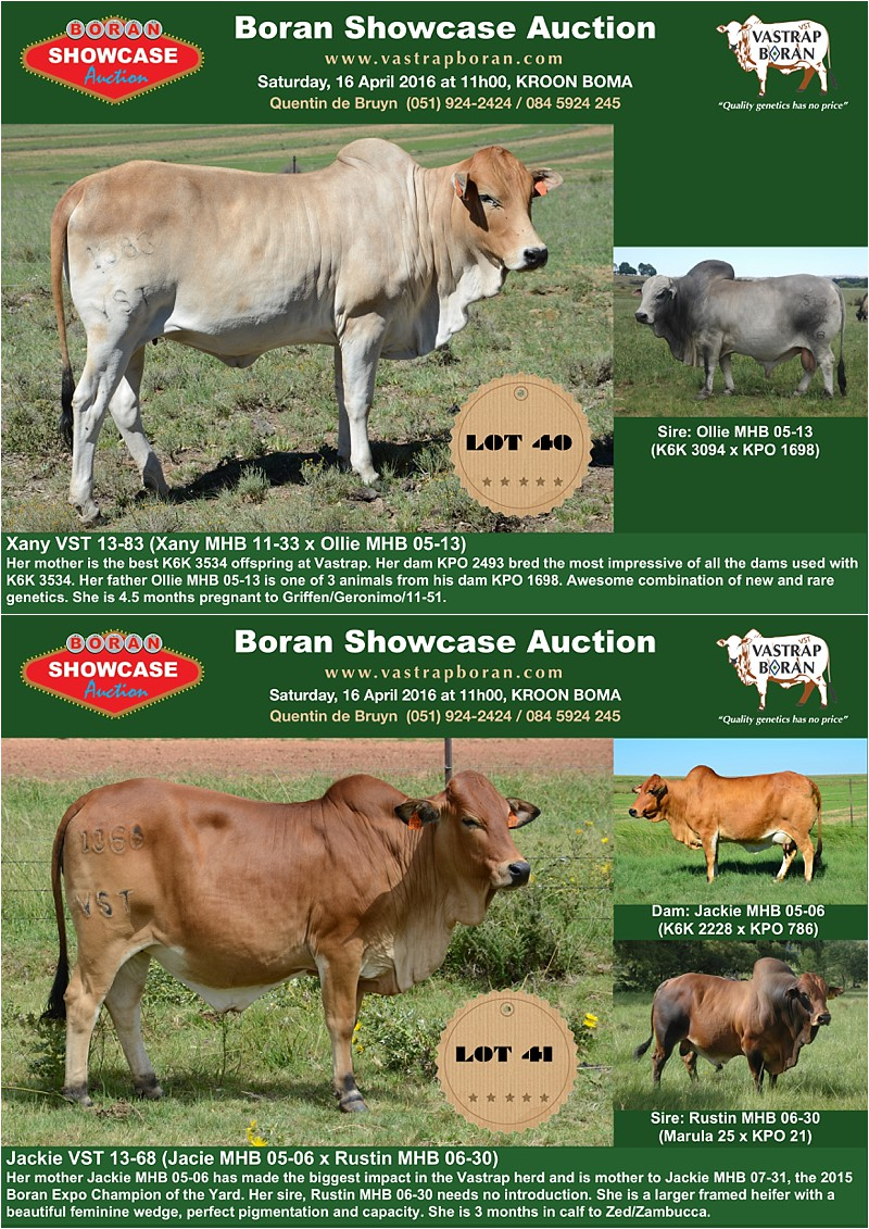 Showcase heifers_3