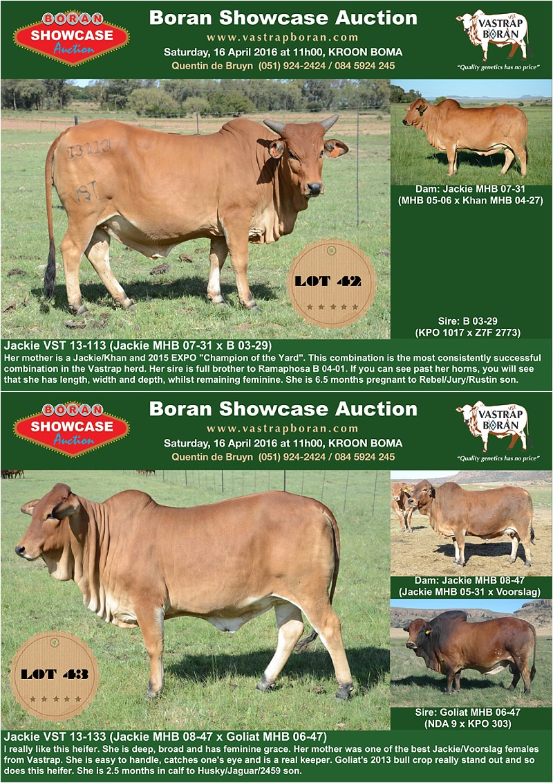 Showcase heifers_4