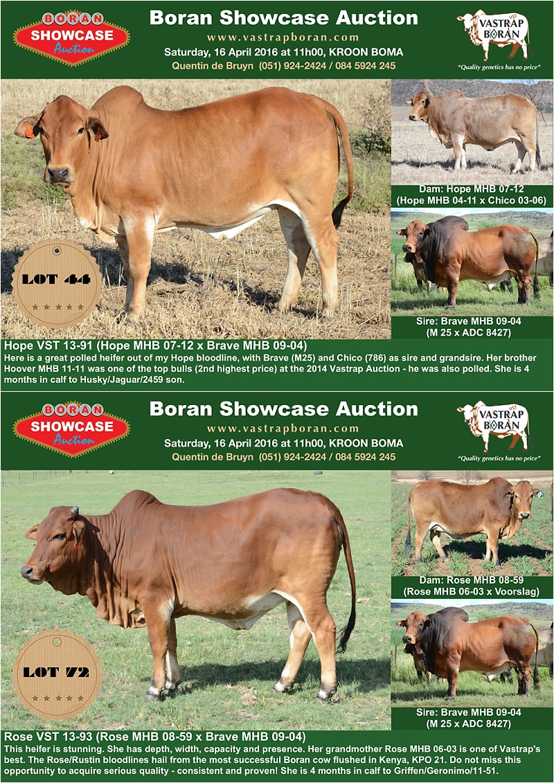 Showcase heifers_6