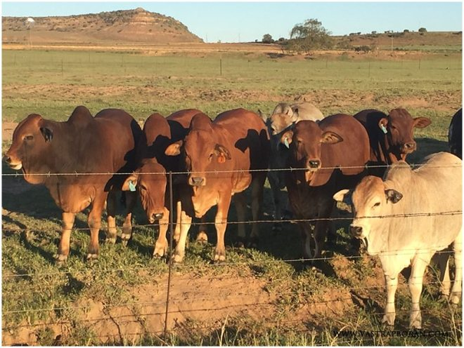 Group of 2015 weaner calves.