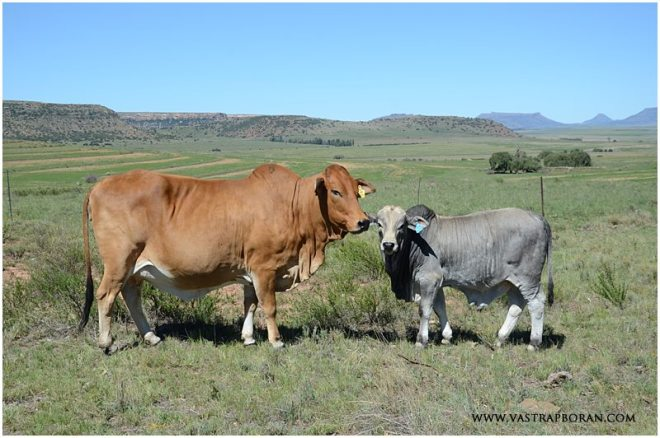 Jackie MHB 07-09 with bull calf by