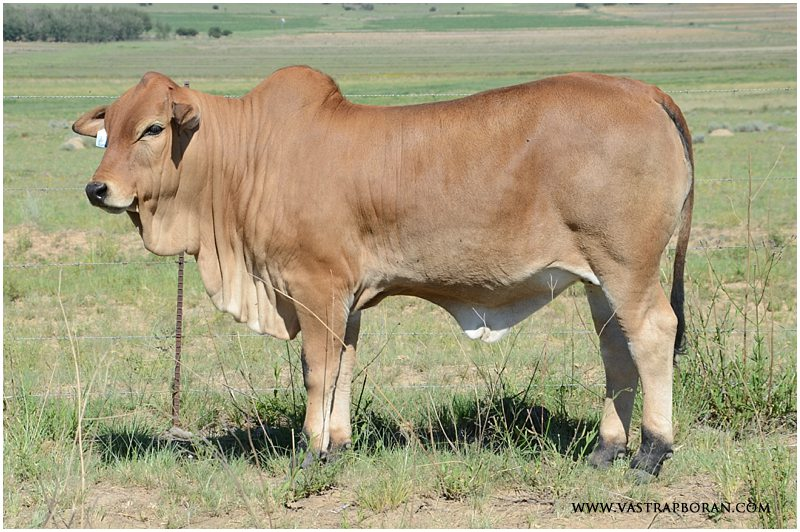 Savanna VST 15-54 (Savanna VST 12-60 x Zed DLV 10-17)