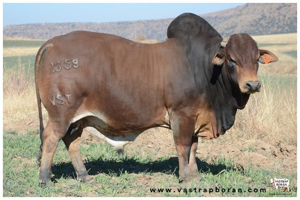 Vastrap Auction Bulls