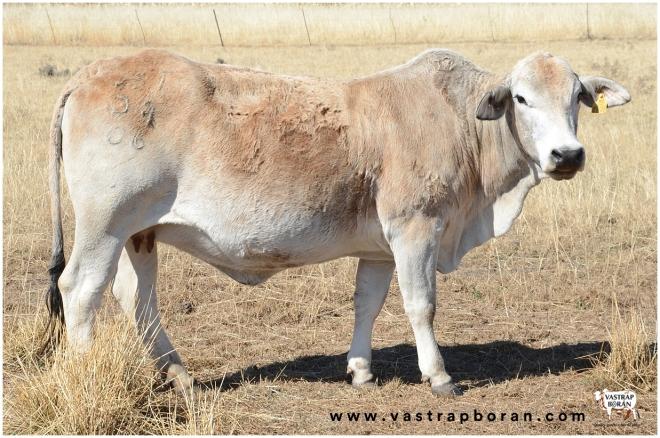 Boran(F2) VST 09-06