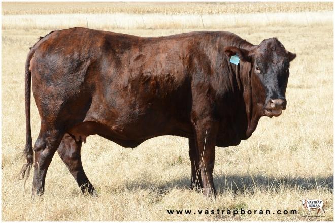 Com - Boran x Angus VST 15-283